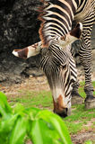 Zebra. Young Grevy's Zebra eating in a South Florida zoo Stock Photos