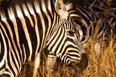 Zebra. Young Zebra in the Kruger National Park South Africa Royalty Free Stock Photography