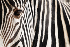 Zebra. Detail of a Zebra, with low depth of field and focus on the eye Stock Photography
