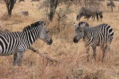 Zebra Stock Image