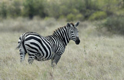 Zebra. In Nechisar National Park, Southern Ethiopia Stock Photos