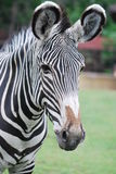 Zebra. Large portrait of a zebra on a green background Royalty Free Stock Images