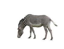 Free Zebra Royalty Free Stock Photo - 2144145