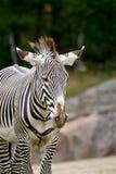 zebra obrazy royalty free