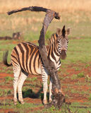 Zebra. One zebras standing at burnt branch Royalty Free Stock Image