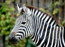 Zebra. Profile of an African zebra Stock Photo