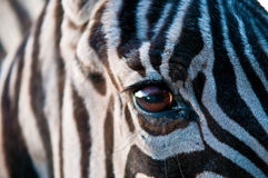 Zebra . Closeup of zebra skin texture and eye Stock Photo