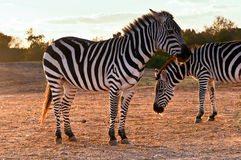 Zebra . Portrait of two wild zebras stock photography