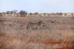 Zebra. In the grass / Kenia Stock Image