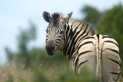 Zebra. Looking back taken in the Mabalingwe Nature Reserve Royalty Free Stock Photo