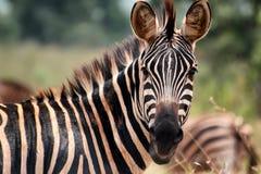 Zebra. In the Akagera National Park in Rwanda Stock Image