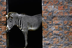 Zebra. One beautiful zebra on the Park Picos de Europa in Spain Royalty Free Stock Images