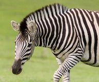 Zebra. Close portrait of the zebra Royalty Free Stock Images