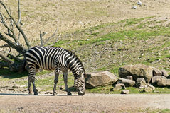Zebra. Walking on the road and looking for food stock photography