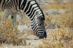 Zebra #1 Lizenzfreie Stockbilder