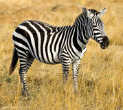 Zebra. At Kenyan natural reserve masai mara Royalty Free Stock Images