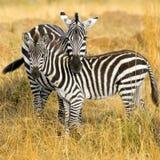 Zebra. Two zebras at masai mara Royalty Free Stock Photo