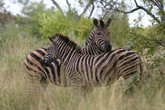 Zebra. Two Zebra's in the Kruger National Park, South Africa Royalty Free Stock Photo