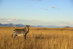 Zebra. A Zebra grazing, Mountain Zebra National Park Stock Image