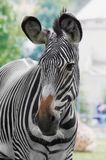 Zebra. Horse with strires Royalty Free Stock Photography