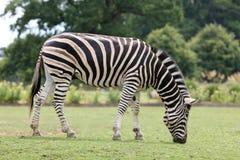 Zebra. A male Zebra showing his stripes Royalty Free Stock Photography