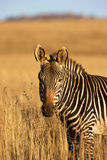Zebra. A portrait of a Zebra, Mountain Zebra National Park Royalty Free Stock Photography