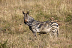 Zebra. A Zebra looking at the camera, Mountain Zebra National Park Stock Photography