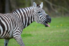 Zebra. A zebra sticking its tongue out at the camera Royalty Free Stock Photo