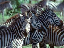 Zebra. At Serengeti Gamereserve in Tanzania Royalty Free Stock Photo