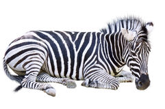 The Zebra Royalty Free Stock Images