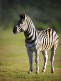 Zebra. On green plains of Addo National Park - South Africa Stock Photos