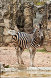 Zebra. In zoo of thailand Stock Photos