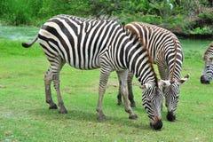 Free Zebra Royalty Free Stock Photos - 25779668