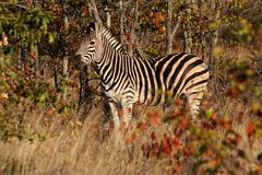 Zebra. In africa Stock Photography
