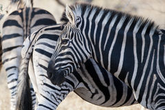ZEBRA. In the Kruger National Park Stock Photography
