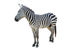 Zebra. Isolated on white background Royalty Free Stock Photo