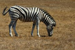 Zebra. Grazing at a drive through park in oregon usa Stock Photo