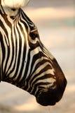 Zebra. Animal head under sun Stock Photography