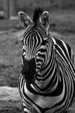 Zebra Stockfotos