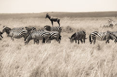 Zebra Stock Photos
