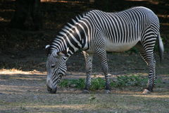 Zebra Fotos de Stock