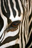 Zebra. Up and close with African Zebra Stock Photography