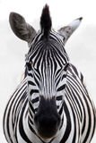 Zebra. Close-up of a zebra standing in the early morning mist royalty free stock photography