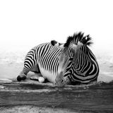 Zebra. A zebra  from its environment Stock Photos