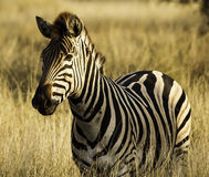 Zebra. A zebra at the Kruger Park, South Africa Royalty Free Stock Photography
