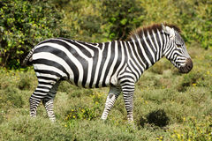 Zebra. At Lake Naivasha, Kenya Royalty Free Stock Images