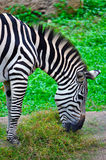 Zebra. Plains zebra (equus quagga) also known as the common zebra or burchell's zebra, is the most common and geographically widespread species of zebra. this Royalty Free Stock Image