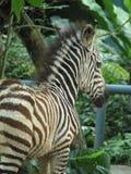 Zebra 3 Zdjęcia Royalty Free