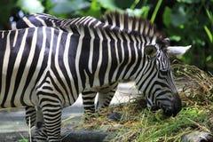 Zebra 2 foto de stock