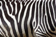Zebra. Photo of a zebra texture Stock Image